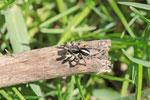 V-Springspinne, Aelurillus v-insignitus