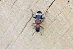 Ameisenbuntkäfer, Thanasimus formicarius