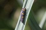 Siebenpunkt, Larve, Coccinella septempunctata