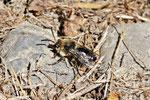 Gemeine Trauerbiene, Melecta albifrons