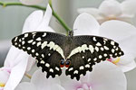 Zitrusschwalbenschwanz, Papilio demoleus
