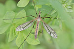 Frühlingsschnake, Tipula (Lunitipula) vernalis