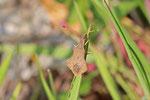 Rhombenwanze, Syromastus rhombeus