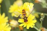 Hain-Schwebfliege, Episyrphus balteatus