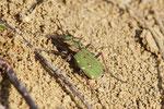 Feld - Sandlaufkäfer, Cicindela campestris