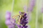Hornkleeglasflügler, weibl., Bembecia ichneumoniformis