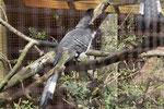 Weißbauch-Lärmvogel