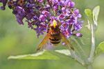 Hornissenschwebfliege, Volucella zonaria