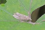 Großer Pestwurzwickler,  Epiblema grandaevana