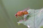 Echte Fliege, weibl., Phaonia pallida
