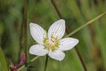 Sumpf-Herzblatt, Parnassia palustris