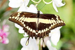 Königspage, Papilio thoas