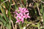 Rosmarin-Seidelbast, Daphne cneorum
