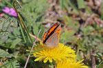 Kleiner Feuerfalter, Lycaena phlaeas
