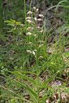 Langblätteriges Waldvöglein, Cephalanthera longifolia
