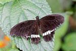 Kleiner Mormon männl., Papilio polytes