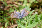 Hauhechel - Bläuling, Polyommatus icarus