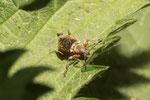 Gespornter Blattrüssler, Phyllobius glaucus