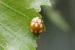 Licht - Marienkäfer, Calvia decemguttata