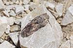 Rotbraune Waldrandeule, Mniotype adusta