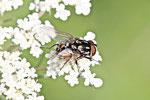 Echte Fliege, männl., Graphomya maculata