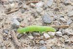 Raupe vom braunkolbigen Dickkopffalter, Thymelicus sylvestris