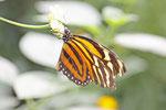 Tiger Passionsfalter, Heliconius ismenius
