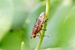 Hornfliege, Tetanocera sp.