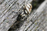 Zebraspringspinne, Salticus scenicus