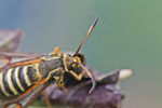 Hornkleeglasflügler, Bembecia ichneumoniformis