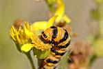 Raupe vom Blubär, Tyria jacobaea