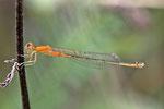 Kleine Pechlibelle, Ischnura pumilio