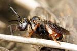 01.07.2016 : Weibchen der Schmuckbiene, ein Brutparasit der Schenkelbienen