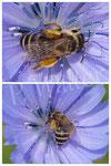 02.07.2016 : Wildbiene an der Wegwarte