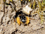 18.06.2017 : Wald-Schenkelbiene zwischen den Fugen der Steinmauer
