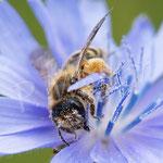 23.06.2018 : Wildbiene an der Wegwarte