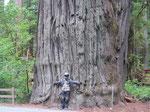 Unglaublich, fantastisch...die Redwoods im Norden Kaliforniens!