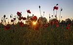 Sonnenstern im Mohnblumenfeld