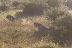 Löwengebrüll am Morgen ... sehr beeindruckend!