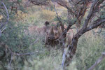 Spitzmaulnashorn - Black Rhino