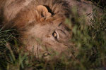 unser erster Löwe in diesem Urlaub