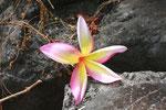 Marquesas - wie die Blume heißt, weiß ich nicht
