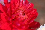 Dahlie aus Blumenstrauß