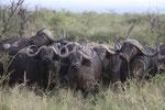 Straßensperre durch Büffel