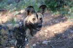 Afrikaneischer Wildhund