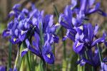 Mini-Iris aus dem eigenen Garten