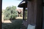 Elefanten im Garten hat man nicht jeden Tag.