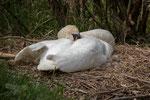 Auch ein brütender Schwan braucht Schlaf