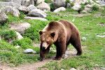 Einer  der Bären im Tierpark Lycksele