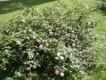 Rose Floralies sierroises